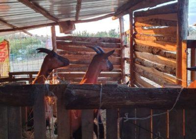 due capre nella stalla di Pantasema
